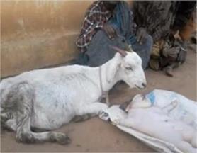 PHOTOS : बकरी ने दिया इंसान जैसे दिखने वाले बच्चों को जन्म!