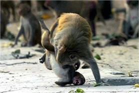 तस्वीरों में देखें जब मोटे बंदर ने निकाली रात की भड़ास!