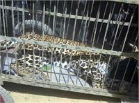 तस्वीरों में देखिए, कड़ी मशक्कत के बाद कैसे पकड़ा गया तेंदुआ