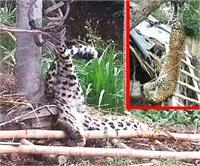 मुर्गी फार्म में घुसा तेंदुआ, मालिक ने किया उसका कुछ ऐसा हाल...देखिए तस्वीरें