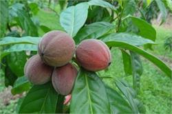 कुछ ही मिनटों में ठीक होगा कैंसर, एक जंगली फल का है ये कमाल!