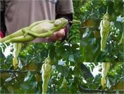 एेसा पेड़, जिस पर लड़की के आकार जैसे लगते हैं फल!(pics)
