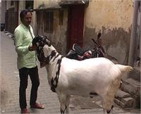 180 किलोग्राम का बकरा बना चर्चा का विषय, कीमत भी कर देगी हैरान
