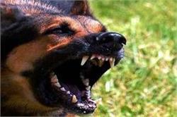 शहर में 80 प्रतिशत कुत्ते खतरनाक, स्टरलाइजेशन नहीं