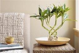 घर में लगाएं Bamboo Plant, मिलेंगे कई फायदे