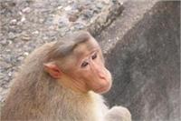 यूपीः मथुरा-वृंदावन में बंदरों का आतंक बना निकाय चुनाव का अहम मुद्दा