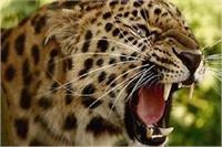 आदमखोर तेंदुए को पकड़ कर जेल में करना पड़ा बंद, कई घंटे बाद पहुंची वन विभाग की टीम