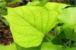 शकरकंद की पत्तियों से करें डायबिटीज और कैंसर का इलाज!