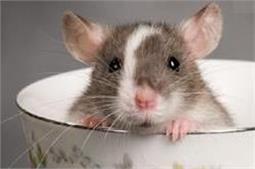 चूहों को बिना मारे घर से इस तरह भगाएं