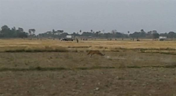 कुशीनगर में तेंदुए के हमले से 2 लोग घायल, दहशत में गांव