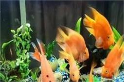 इस तरीके से करें Fish Aquarium की साफ-सफाई