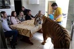 OMG: 7 टाइगर्स के साथ रहती हैं यह फैमिली, एेसे जीते है लाइफ!