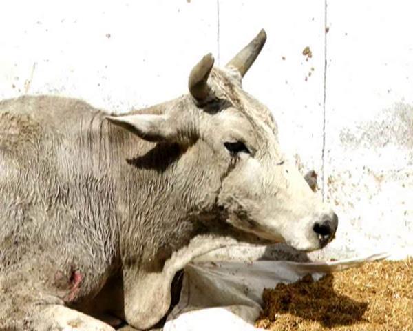 बड़ा खुलासा: गायों का पैसा डकार गई गौशाला कमेटी! दर्जनों गायों की हुई भूख-प्यास से मौत