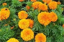 घर में लगाएं ये पौधे, मच्छर रहेंगे कोसो दूर