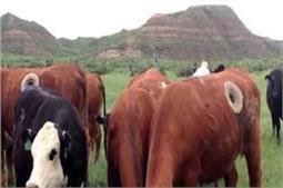 क्यों गाय के पेट में सुराख करते हैं ये लोग ?