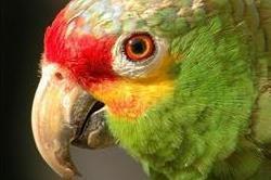 मेक्सिको में मिली तोते की ये दुर्लभ प्रजाति