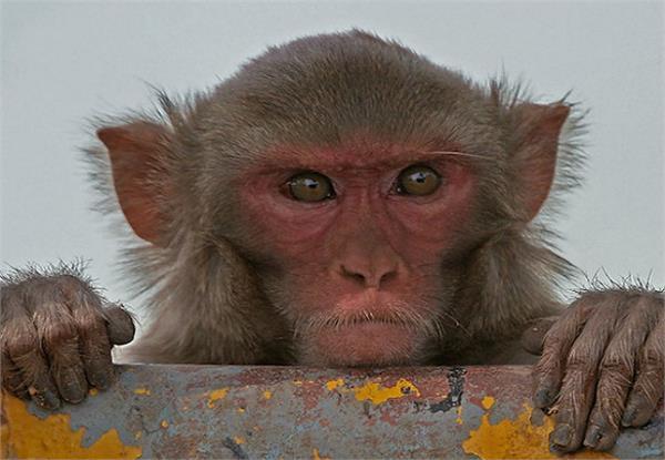 छत पर खेल रहे बच्चों पर बंदरों का हमला, 5 की हालत गंभीर