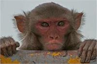 बदमाशों के बाद बंदरों ने भी मचाया UP में आतंक, 3 दर्जन से अधिक बच्चे बन चुके है इनके शिकार