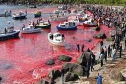 डेनमार्क में होता है यह क्रूर त्योहार, व्हेल मछलियों को गवानी पड़ती है जान