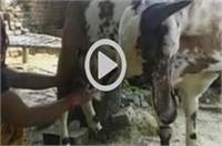 गजब: यह बकरा रोजाना दे रहा है दूध, लोग मान रहे चमत्कार