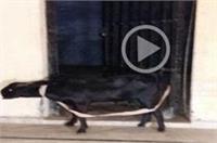 वाराणसीः 2 पक्षों के विवाद में बेगुनाह बकरा काट रहा सजा, जेल में बितानी पड़ी रात