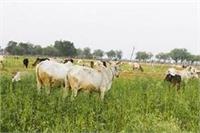 आवारा पशुओं का आतंक, चौपट हो रही अन्नदाता की फसल