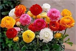 Home Garden में है गुलाब का पौधा तो ऐसे करें इसकी देखभाल