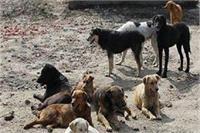 नहीं थम रहा आवारा कुत्तों का आतंक, 3 साल की मासूम का फाड़ दिया पेट