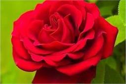 हड्डियों को मजबूत रखें गुलाब, जानिए इसके अनगिनत लाभ