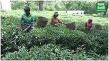 फीका-फीका सा कांगड़ा चाय का जायका, 50 फीसदी उत्पादन घटा