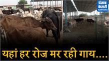 खट्टर के राज में गोवशों की दुर्दशा, देखिए कैसे इलाज के आभाव में मर रही गाय
