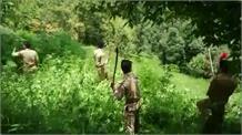 पुलिस ने नष्ट की सैकडों एकड भांग की खेती