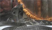 सांपों और विषखोपड़ा से किया भगवान शिव का अभिषेक, हैरत अंगेज़ वीडियो आई सामने