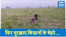 एक बार फिर मायूस हुए किसान! बारिश ने फेरा अरमानों पर पानी
