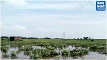 माइनर टूटने से कपास व बाजरे की फसल बर्बाद, किसानों ने की गिरदावरी की मांग