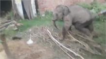 जंगल से भटकर गांव में घुसा हाथी का बच्चा, लोगों के लिए बना कोतुहल का विषय