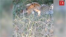 तेंदुए और हिरन के मेमने की दोस्ती का यह वीडियो हो रहा वायरल : आपने देखा क्या