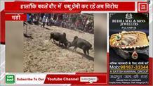Himachal के सिराज से माल Festival में बैलों की भिड़ंत