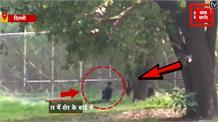 आदमखोर शेर के बाड़े में जा घुसा युवक, Video वायरल