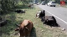 बेसहारा पशुओं के आतंक से परेशान यहां के लोग, सड़कों पर निकलना हुआ मुश्किल