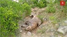 नयना देवी में फिर मिला मरा हुआ तेंदुआ