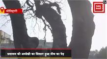 चंपारण सत्याग्रह का इकलौता गवाह 'नीम का पेड़', प्रशासन की लापरवाही की लपटों में जला