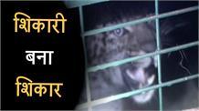 Nathpa-Jhakri  में  Leopard  पकड़ा