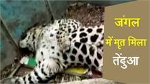 संदिग्ध परिस्थितियों में मृत मिला तेंदुआ, शुरू हुई जांच