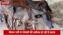 प्रदेश की गोशालाओं में पशुओं का हाल बेहाल, पानी और चारे की कमी से हो रही है गोवंशों की मौत