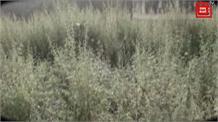 सुंदरनगर में सरेआम लहलहा रहा 'नशा', प्रशासन बना मूकदर्शक