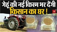 किसानों की आय में होगा इजाफा !  गेहूं की ये नई किस्में देंगी 80 क्विंटल प्रति हेक्टेयर उत्पादन: NWRI