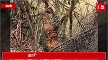 क्या हुआ जब तार फेंसिंग में फंस गया तेंदुआ...live video
