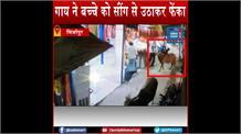 छुट्टा पशु बने मुसीबत: बच्चे को सींग से उठाकर फेंका, CCTV में कैद हुई घटना