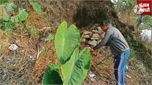 खेत में उगाई 12-12 किलो की कचाली (गंडियाली), तीन पीस में निपट गई शादी की धाम, जानें किसान से कैसे किया कमाल